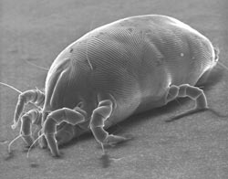 Dust mites are tiny, microscopic bugs, that are commonly found in human habitats, such as your house, couch, bed or carpet. They are able to thrive in our ...
