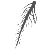 Dandelion root icon